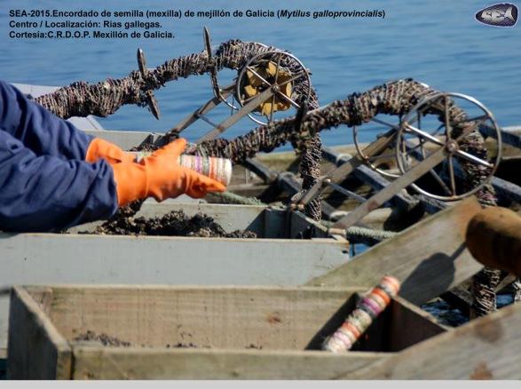 Encordado Semillas Mejillón_SEA-2105
